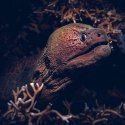 91.Moray eel Gili Islands