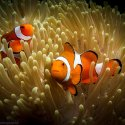 6. Clown fish and anemone Gili Islands