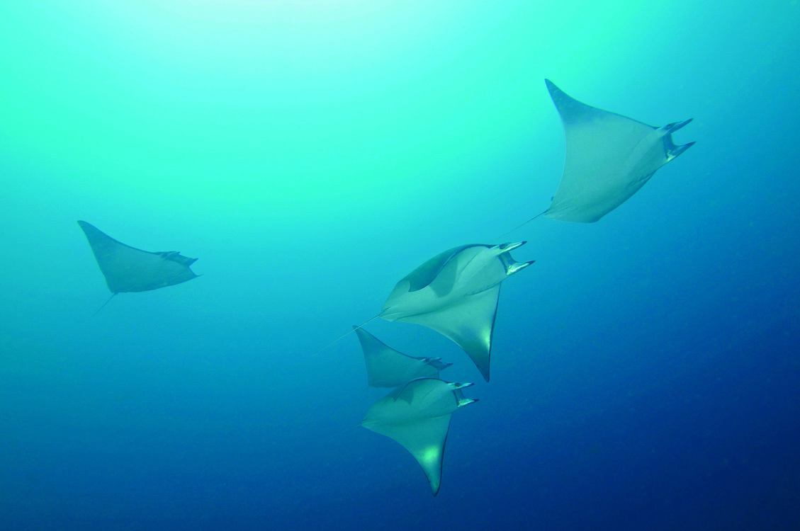 manta ray lombok diving